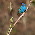 Indigo Bunting Portrait by Bill Wakeley