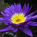 Indigo Water Lotus by Gene Norris