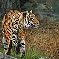 Indo-chinese Tiger by David Stribbling