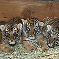 Indochinese Tiger Cubs In Sleeping Box by San Diego Zoo