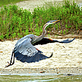 Inflight Great Blue Heron by Sandi OReilly
