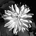 Infrared - Flower 03 by Pamela Critchlow