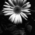 Infrared - Flower 05 by Pamela Critchlow