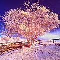 Infrared Tree by Jess Kraft