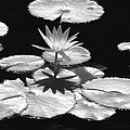 Infrared - Water Lily 02 by Pamela Critchlow