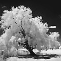 Infrared Willow Tree Study  by Rich Stedman