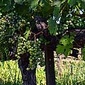 Inglenook Vineyard -11 by Tommy Anderson
