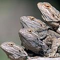 Inland Bearded Dragons by David Davis