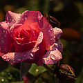 Inner Glow In Pink by Georgia Mizuleva