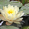 Inner Glow - White Water Lily by Gill Billington