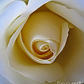 Innocence White Rose 5 by Tara  Shalton