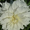 Innocent White Dahlia  by Susan Garren