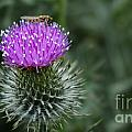 Insect On A Thistle by Mickey At Rawshutterbug