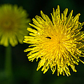 Insects On A Dandelion Flower - Featured 3 by Alexander Senin