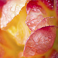 Inside A Rose by Priya Ghose
