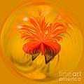 Inside Out Nasturtium by Anne Gilbert