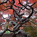Inside The Japanese Maple by Lois Ivancin Tavaf