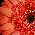 Inspired Essence Gerber Daisy by Inspired Nature Photography Fine Art Photography