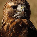 Red Tailed Hawk Portrait by Robert Frederick