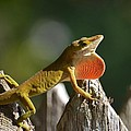 Intimidated Anole by Maria Urso