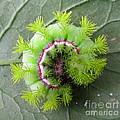 Io Caterpillar by Joshua Bales
