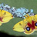 Io Moth Automeris Io Adult Males by Millard H. Sharp