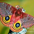 Io Moth by Millard H. Sharp