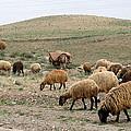 Iran Sheep by Lois Ivancin Tavaf
