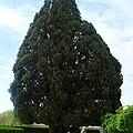 Iran Yazd Cedar Tree by Lois Ivancin Tavaf