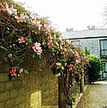 Ireland Floral Vine-topped Brick Wall by Ellen Cannon