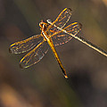 Iridescent Dragonfly Wings by Ed Gleichman