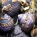 Iridescent Purple Seashells by Betty Depee