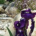 Iris 14 by Pamela Cooper