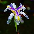 Iris 2012 by Ben Upham III