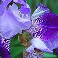 Iris 30 by Allen Beatty