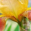 Iris 9 by Allen Beatty