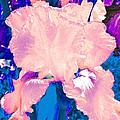 Iris  9 by Pamela Cooper