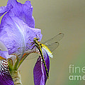 Iris And The Dragonfly 2 by Jai Johnson