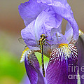 Iris And The Dragonfly 4 by Jai Johnson