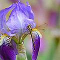 Iris And The Dragonfly 6 by Jai Johnson
