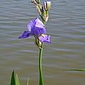 Iris At The Lake by Ellen Paull