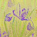 Iris by Barbara Moignard