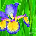 Iris Blossom by Teresa Zieba
