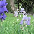 Iris Blues by Iris Prints