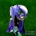 Iris Blues by Marilyn Smith