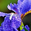 Iris by Carol Montoya