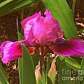Iris by Christy Beal