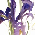 Iris by Claudia Hutchins-Puechavy