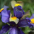 Iris Close Up by Luv Photography