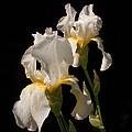 Iris Cream by Don Spenner
